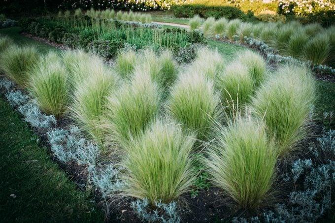 Prairie dropseed, ornamental grasses