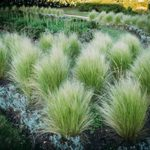 Grow Native Ornamental Grasses for Birds and Butterflies