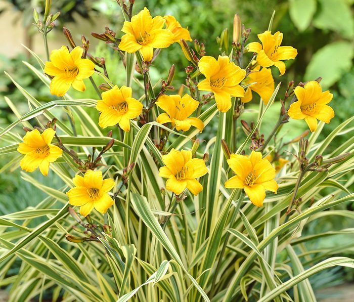 Golden Zebra daylily has the yellow flowers of most daylilies, but shines with striped green and yellow foliage.