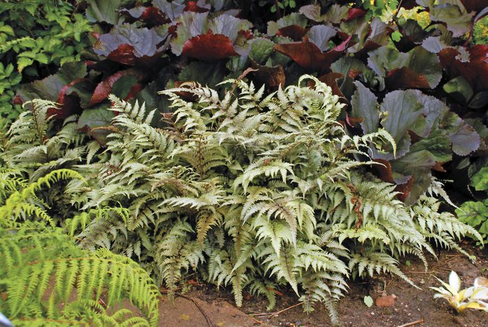 A Japanese painted fern, foliage plants
