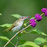 Meet the Vireo Bird Family: Sweet Summer Singers
