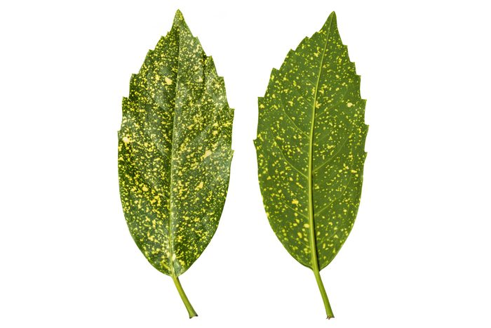 Two spotted laurel leave show how delicate yellow dots add interest to this plant.