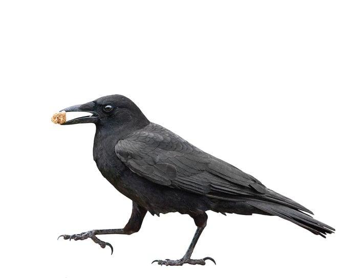 Shutterstock 45320206, raven vs crow