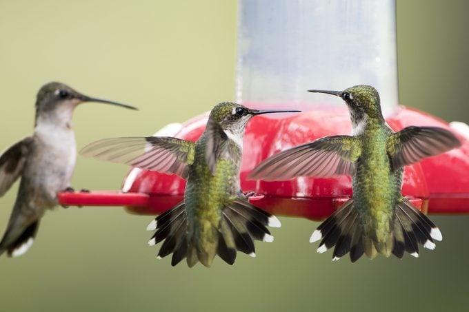 multiple hummingbirds