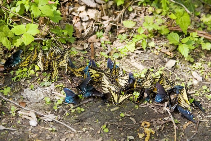 A group of swallowtail butterflies gather by a puddle.