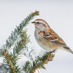Watch for the American Tree Sparrow in Winter