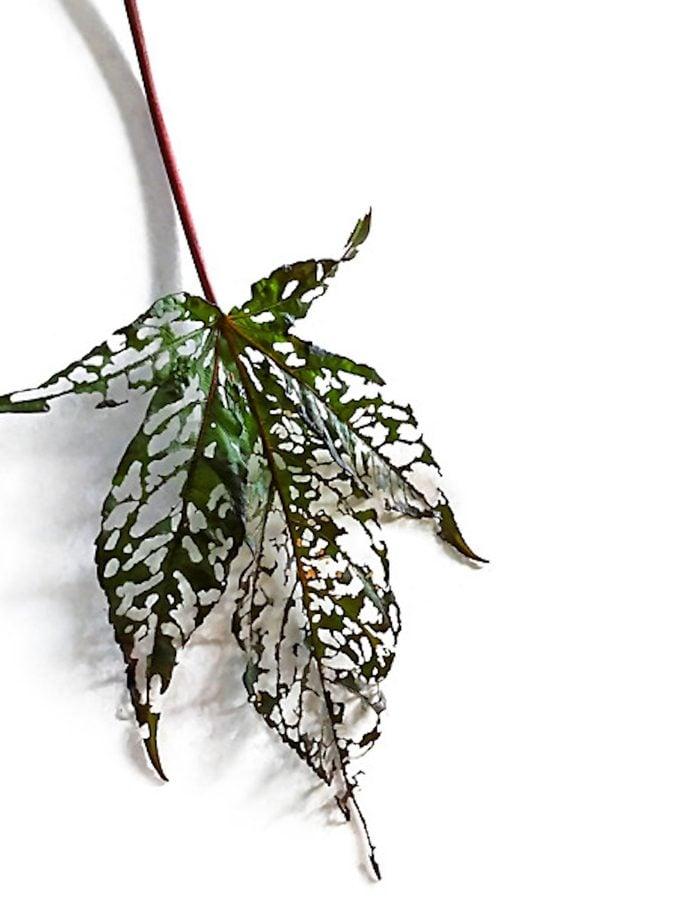Damaged hibiscus leaf