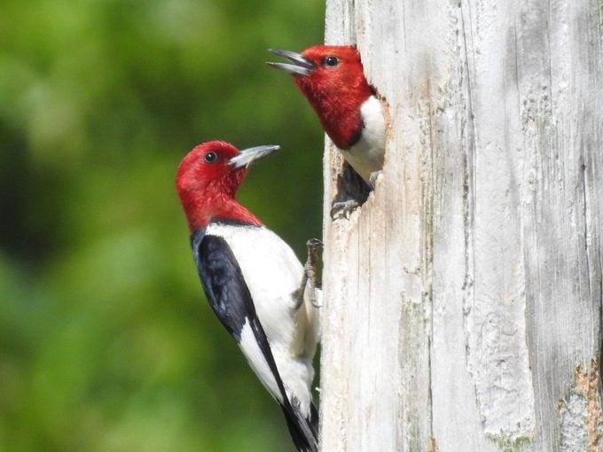 male and female woodpecker