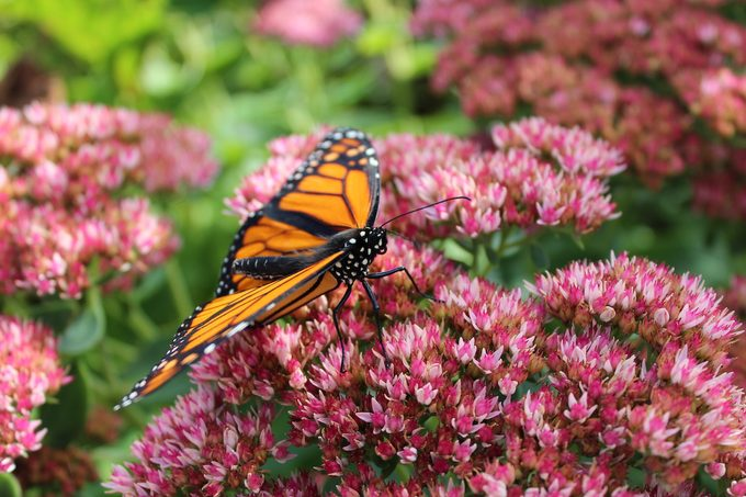 monarch butterfly on sedum
