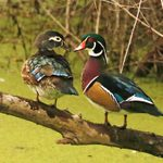 How to Identify a Wood Duck