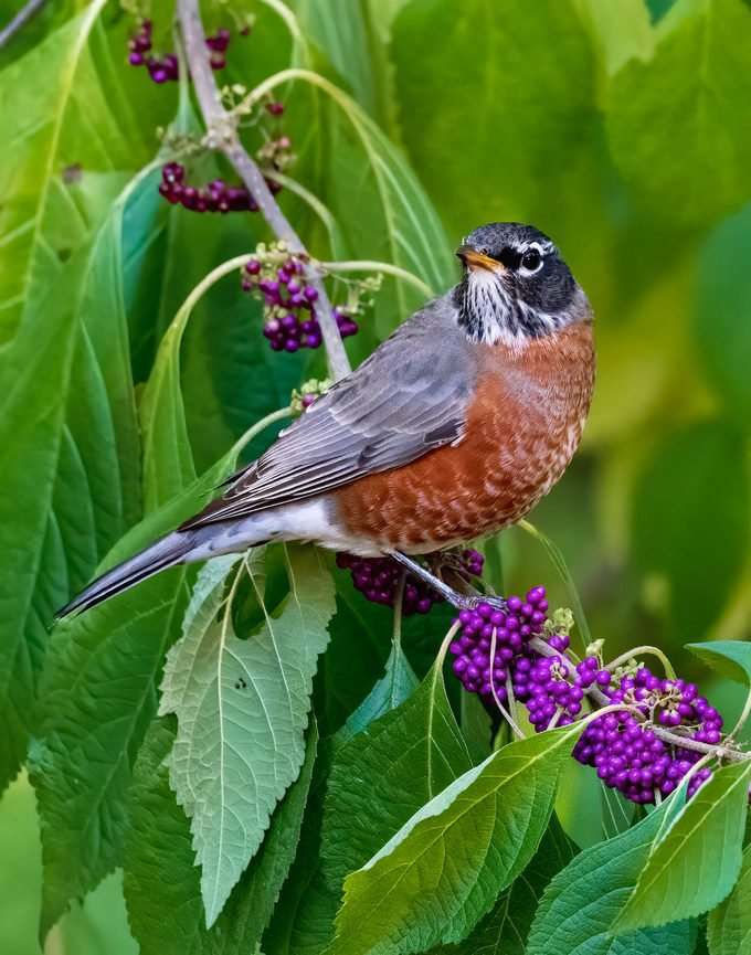 american robin, autumn birds