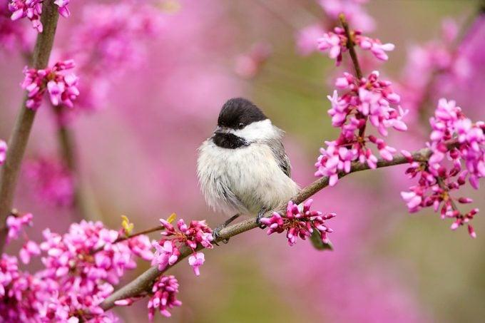 cute birds, chickadee