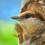 Head South to See a Brown Headed Nuthatch