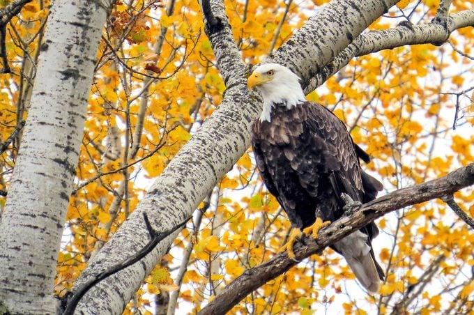 Bald Eagle In Autumn, Park Rapids Minnesota