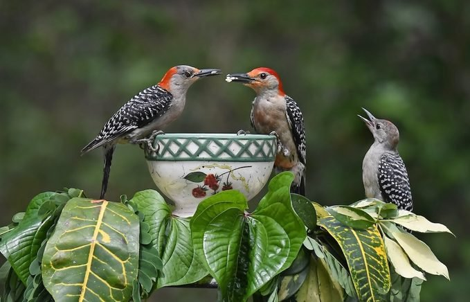 red bellied woodpecker family