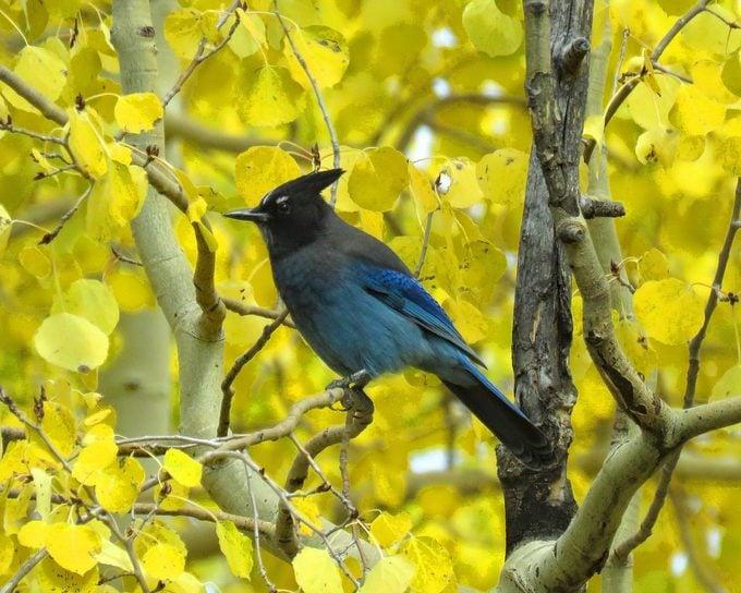 stellar's jay, autumn birds
