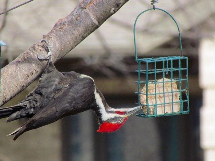 suet for birds