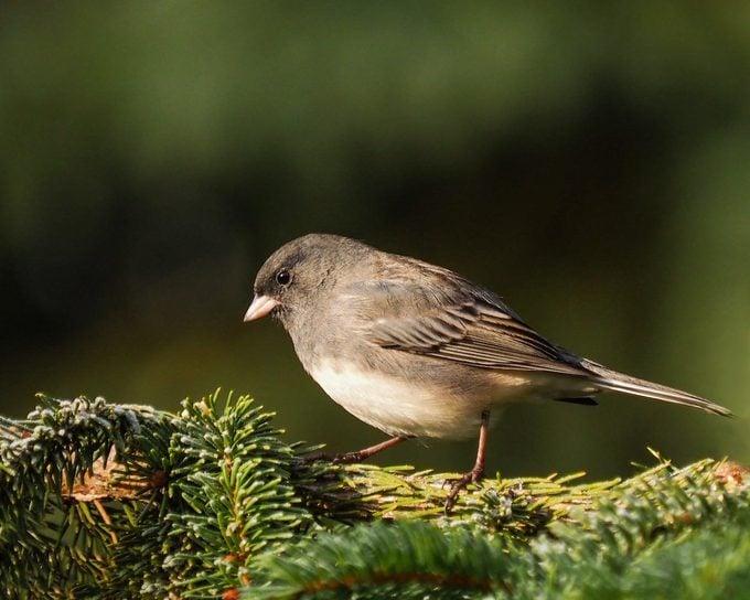 junco, autumn birds
