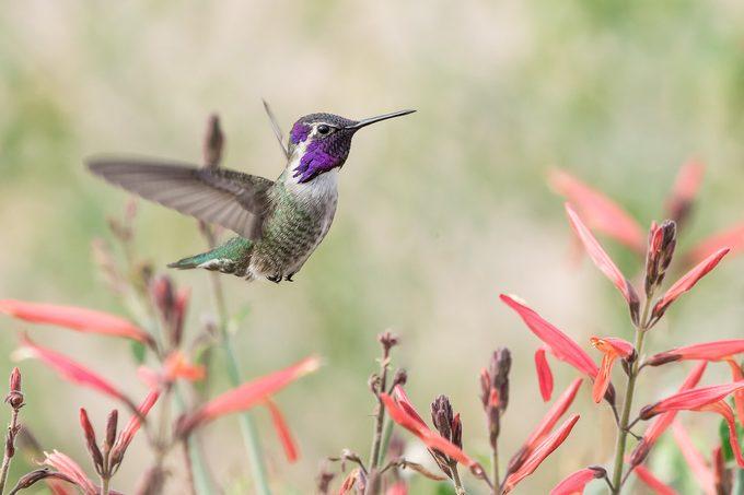 costa's hummingbird, autumn birds
