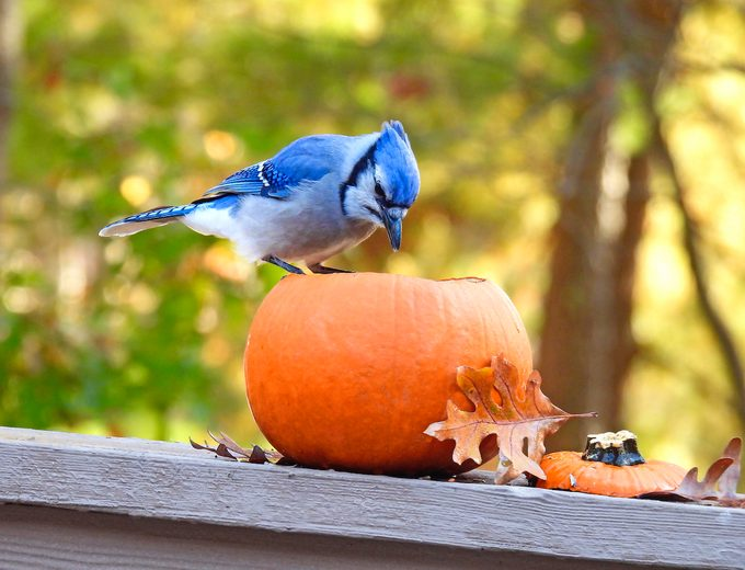 blue jay, autumn birds