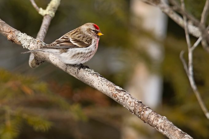 common redpoll, winter finch forecast