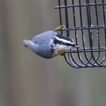 Nuthatch vs Chickadee: How to Tell the Difference
