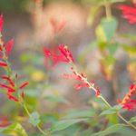 Grow Pineapple Sage for Cool-Season Pollinators