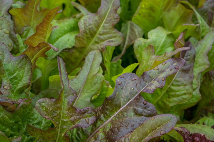 Lettuce Growing in the Vegetable Garden