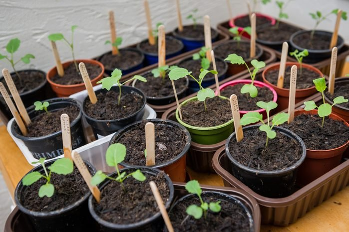 Tray of potted seedlings in plastic plant pots and trays with wooden labels