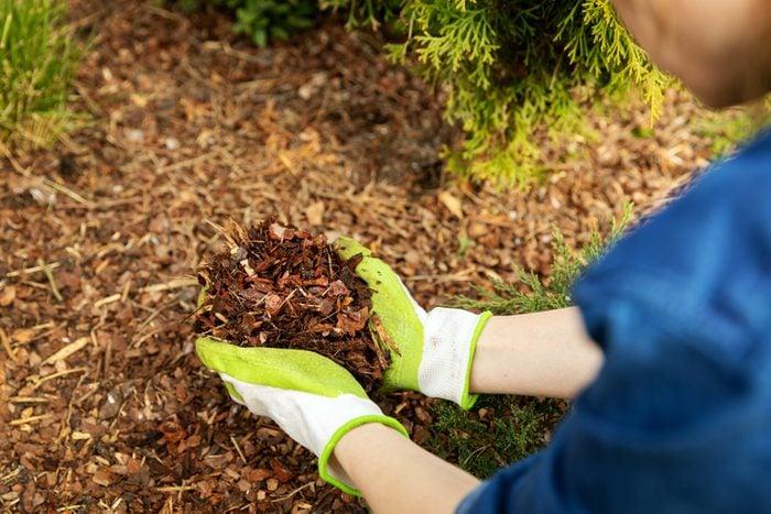 mulching garden conifer bed with pine tree bark mulch