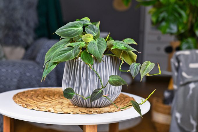 Tropical 'Philodendron Hederaceum Micans' houseplant in gray flower pot on table