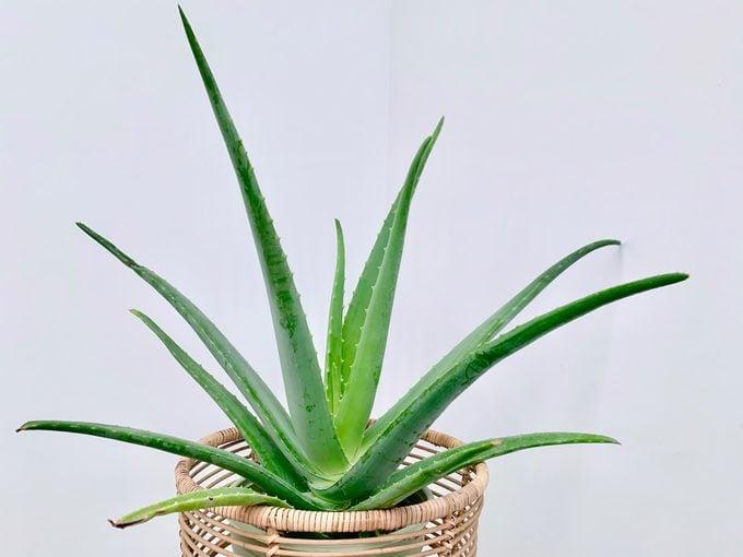 Aloe vera house plant in wicker stand
