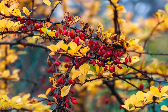 leaf colors, Branch of barberry with berries, close-up photo