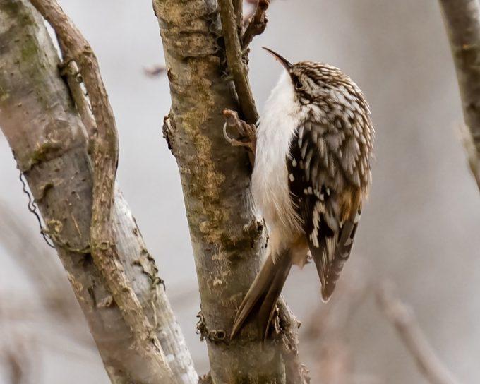 Brown Creeper Bird on a tree