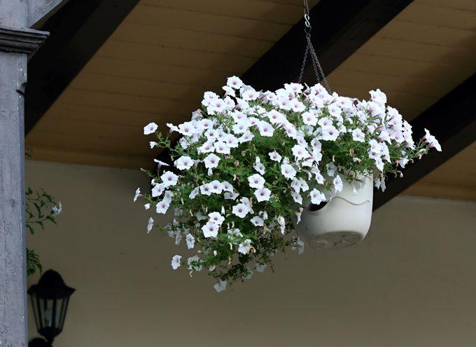 Beautiful white petunias in hanging basket