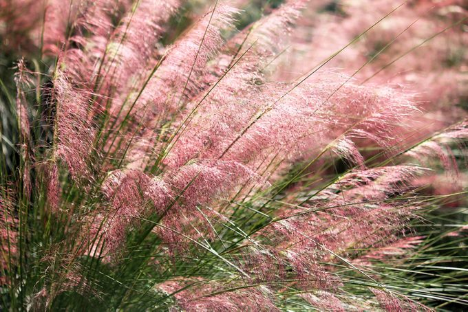 Muhly grass blooming delicately in pink