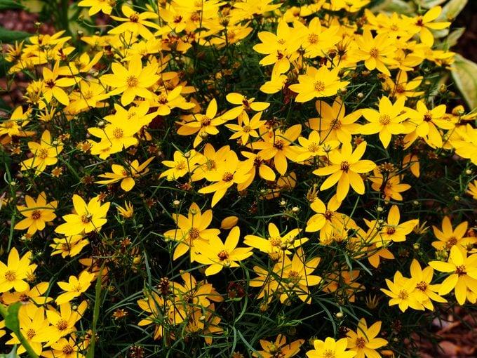 edging plants, Coreopsis verticillate 'Zagreb'