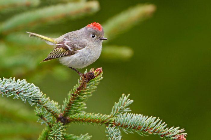 cute birds, Ruby Crowned Kinglet (regulus Calendula)