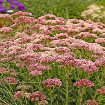 Autumn Fire sedum's rosy pink flowers stick out in a later-summer flower bed.