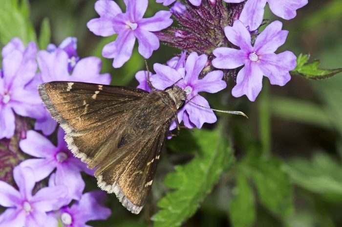 A southern cloudywing collecting nectar from a creeping phlox.