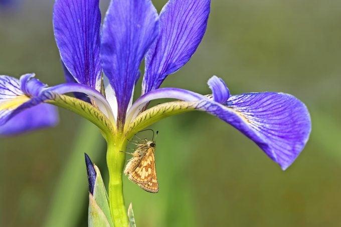 A Peck's skipper crawls up the stalk of a blue flag iris.