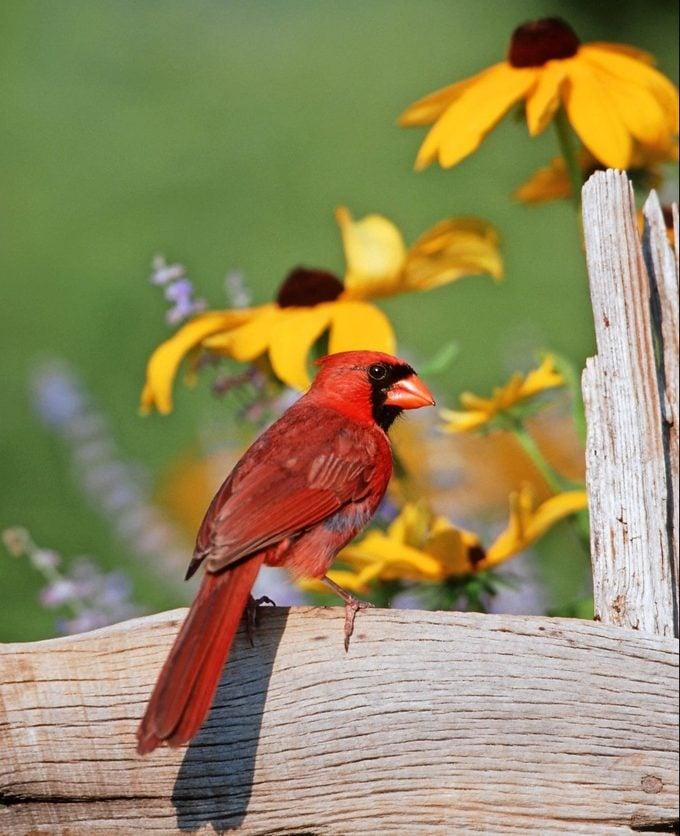 Male northern cardinal, state bird