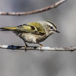 Meet Golden Crowned and Ruby Crowned Kinglets