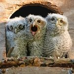 So Fluffy! 15 Adorable Baby Owl Pictures