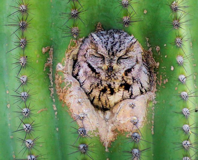 western screech owl, types of owls