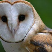 Barn Owls: Ghostly Nocturnal Birds of Prey