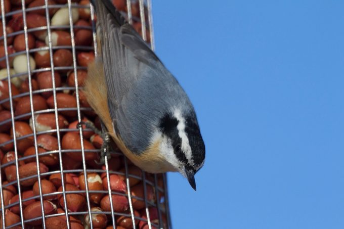 red breasted nuthatch, shelled peanuts for birds