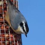 Feeding Tips: Peanuts in the Shell vs. Shelled Peanuts for Birds