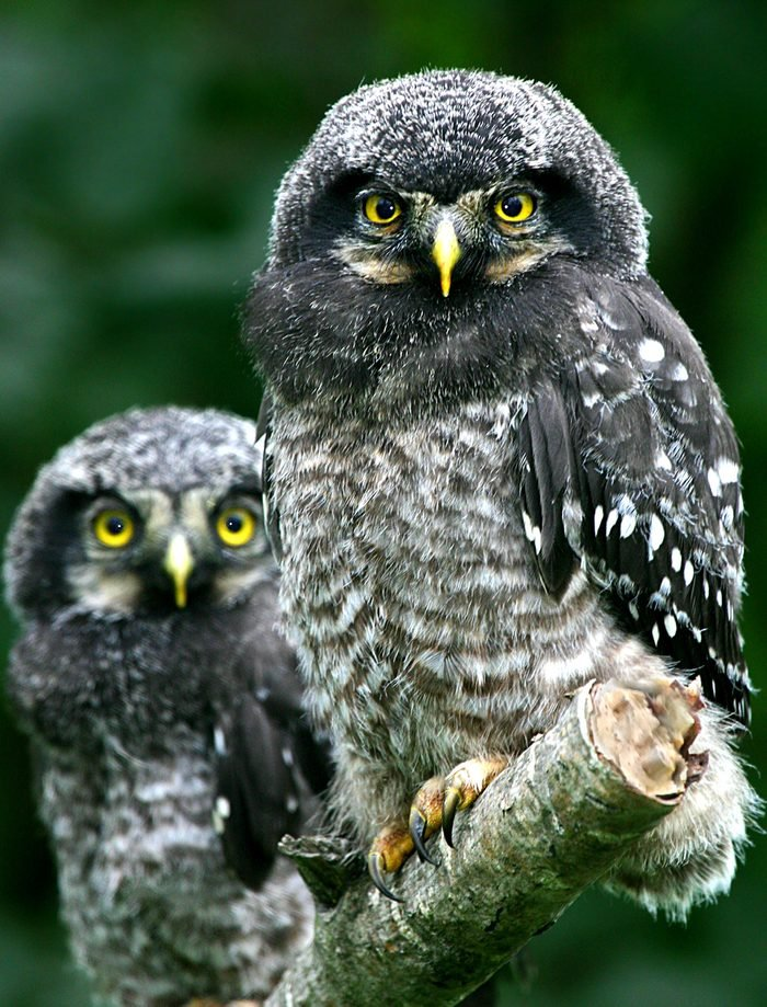 northern hawk owl, types of owls