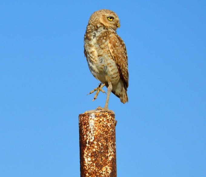 burrowing owl perching on post